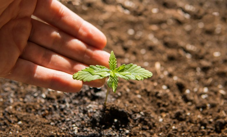 Photo of Understanding What Makes a Good Soil for Growing Cannabis